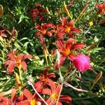 Taglilien (Gefüllte Taglilien)